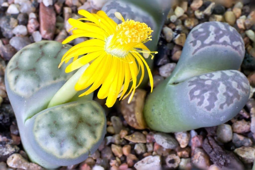 litops-zhelyy-cvetok