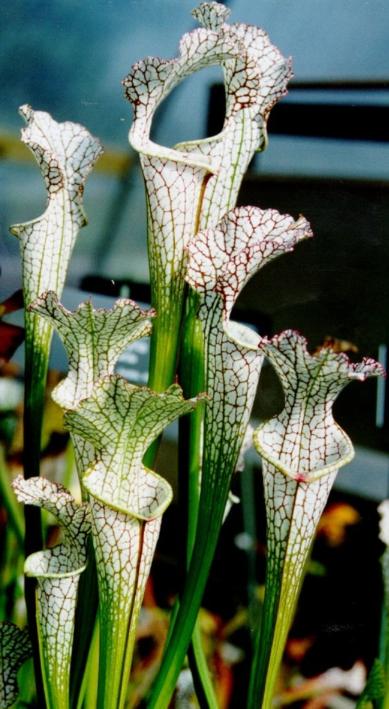 sarracenia-article-images-3-562x1024