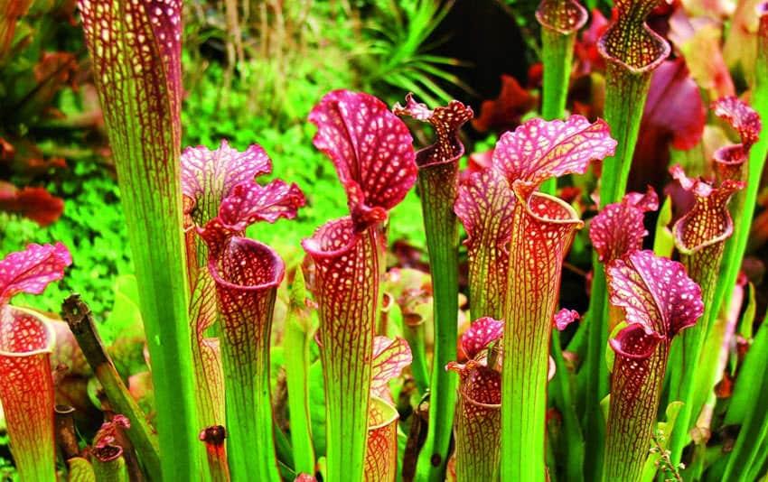 plantas-carnivoras-sarracenia