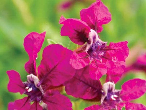 cuphea-llavea_cuphea-chacha-flower