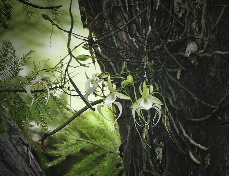 Призрачная орхидея