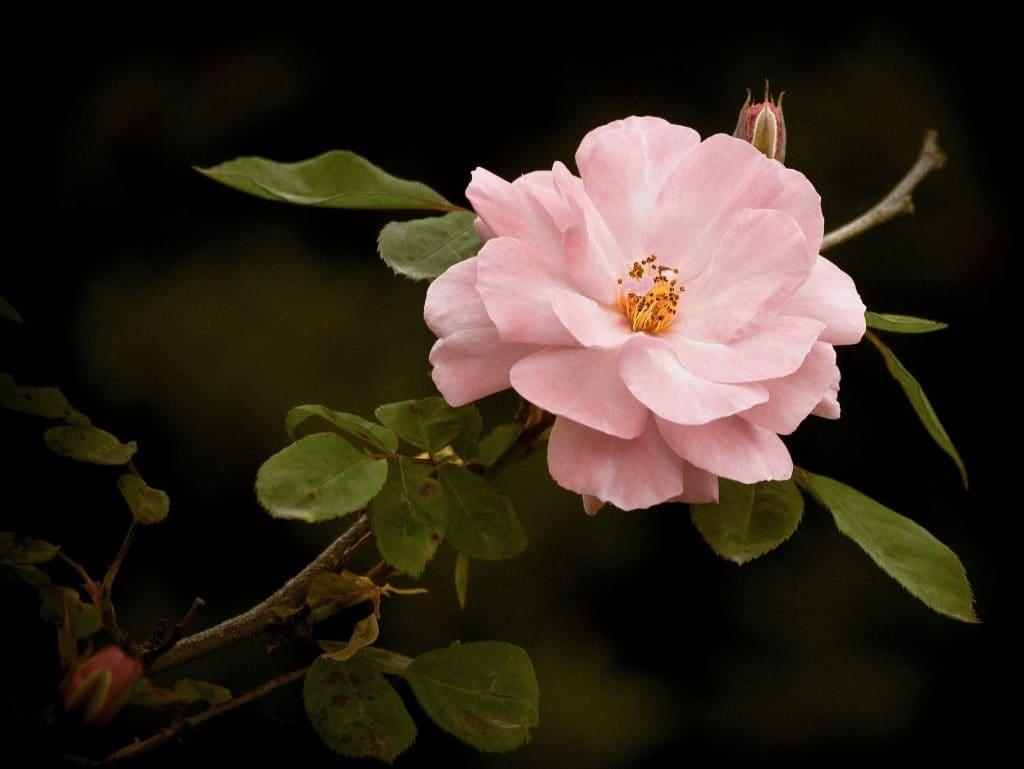 Картина из шерсти Эдем  розовый
