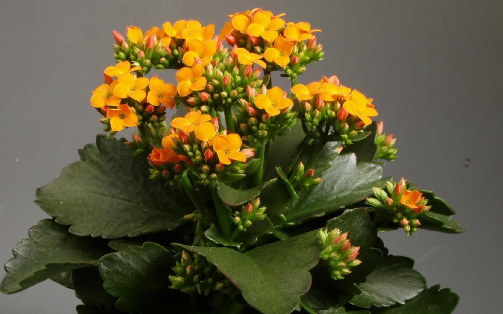 Каланхоэ комнатный цветок
