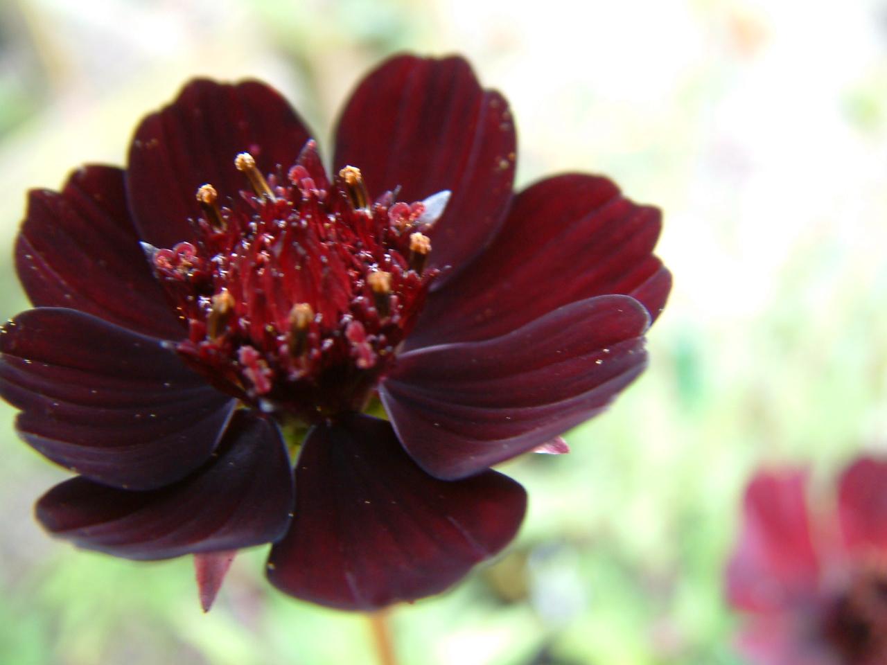 Цветы пахнут шоколадом фото