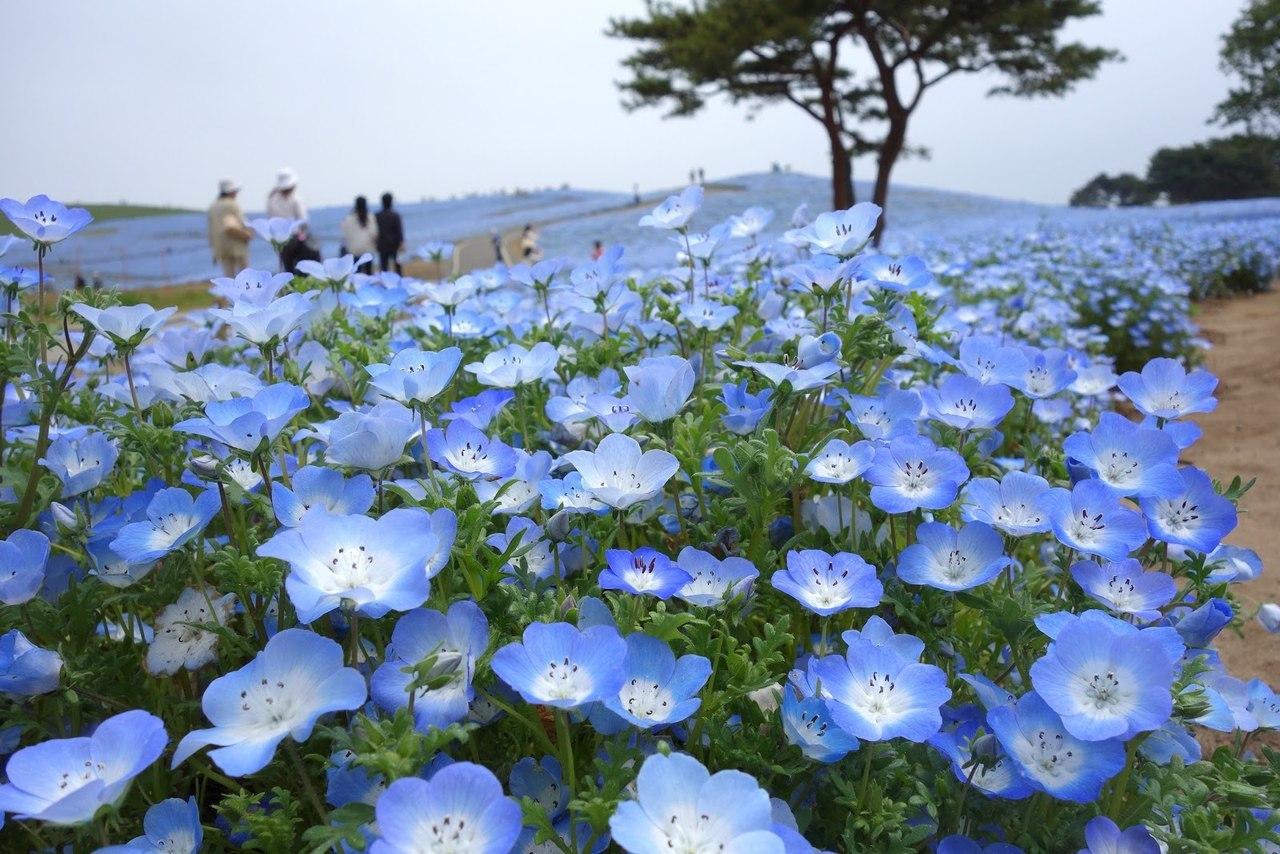 Синие цветы с названиями - Фото цветов 64
