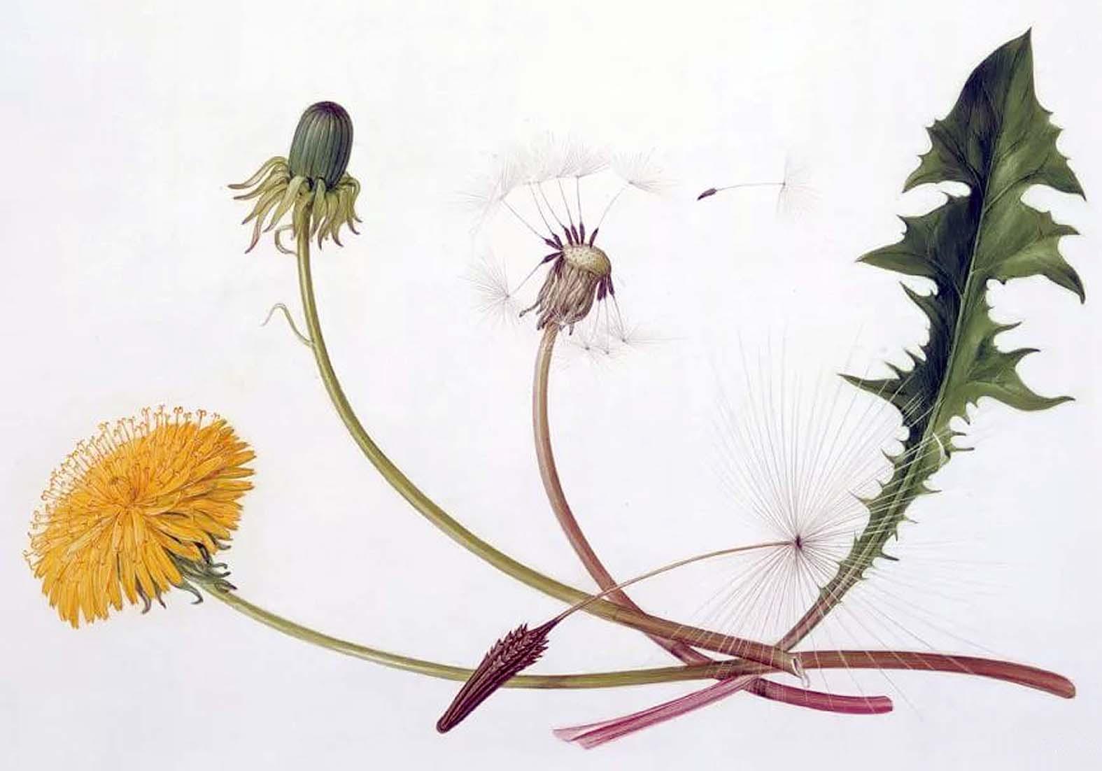 ботаническая открытка одуванчик лекарственный