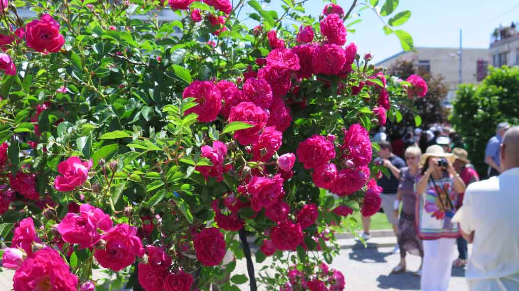 Картинки болгарская роза